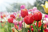 Tulips in spring sun — Stock Photo