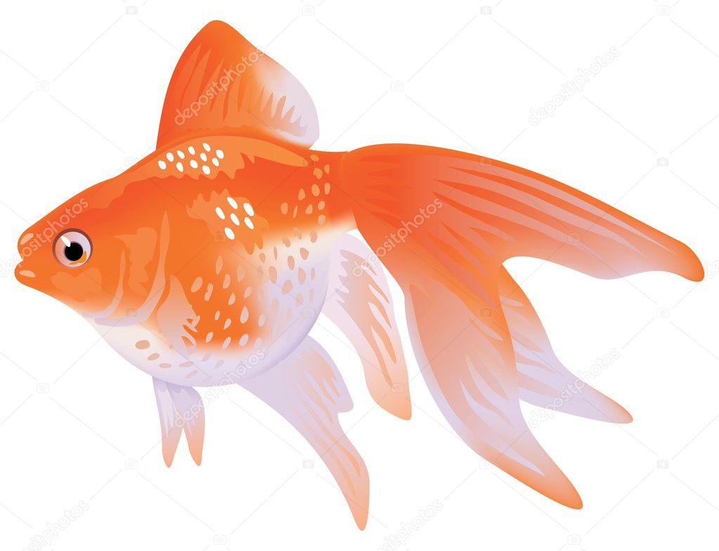 Aquarium goldfische schleierschwanz stockvektor spline for Aquarium goldfische