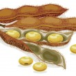 Soybean. Realistic vector illustration. -  