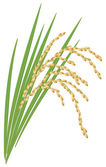 Spikelet of rice with the leaves on a white background. Vector i — Stock Vector