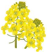 Rape flower (Brassica napus). Vector illustration. — Stock Vector
