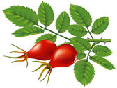 A branch of wild rose hips. Vector illustration. — Stock Vector