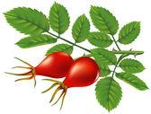 Oddział dzikiej róży. ilustracja wektorowa. — Wektor stockowy