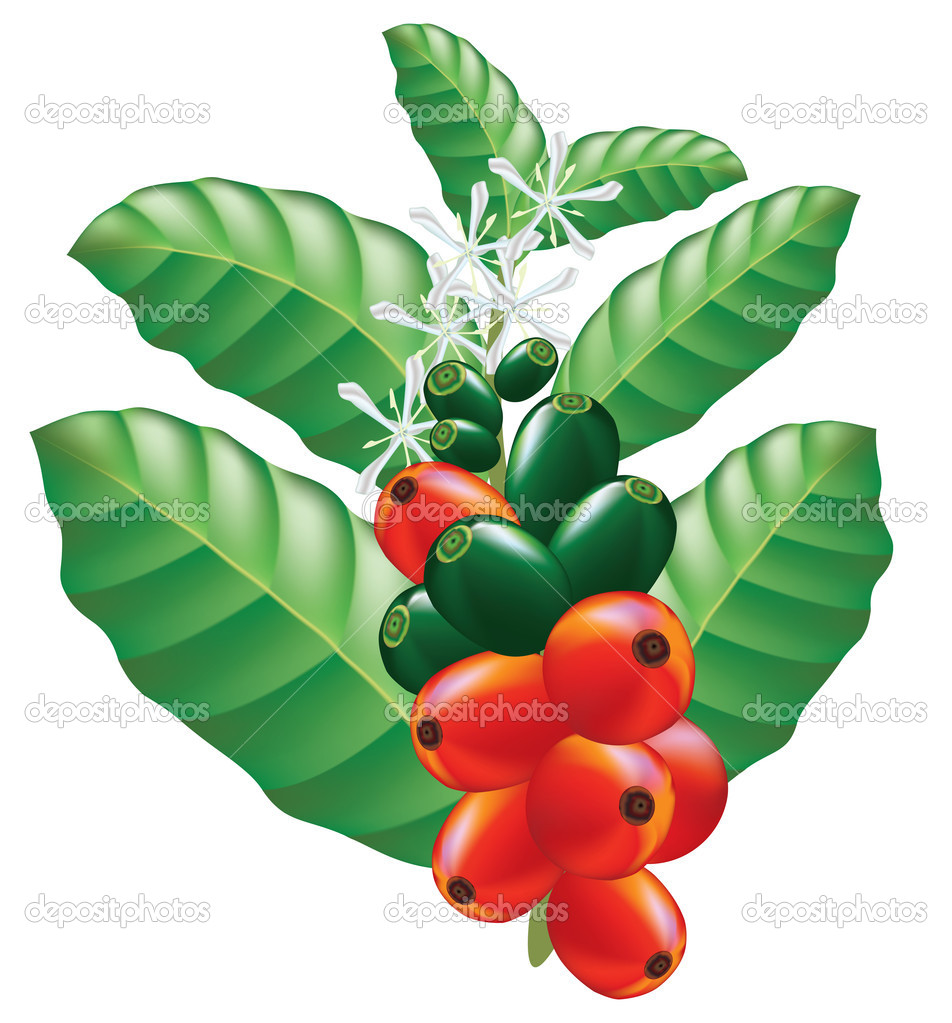 Fruits and flowers of coffee tree. Vector illustration ...