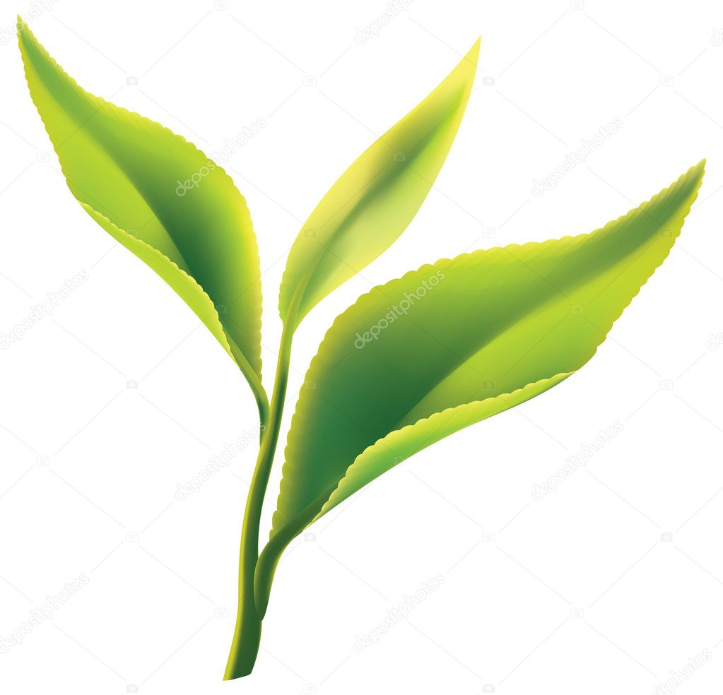 Fresh green tea leaf on white background. Vector illustration. — Stock Vector #5242058