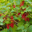 Red currant berries on bush — Stock Photo