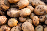 Yukon Gold potatoes — Stock Photo