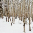 Stock Photo: Aspen forest in winter