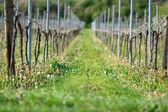 Grapes plants — Stock Photo
