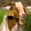 MALE GOAT - Stock Photo