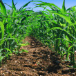 Row of corn on an agricultural field. - Stock Photo