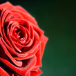Flower: red rose as postcard for example — Stock Photo #4065752