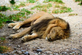 Lion relaxing — Stock Photo