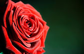 Flower: red rose as postcard for example — Stock Photo