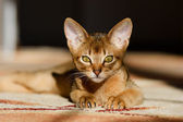 Young Abyssinian cat in action — Foto Stock