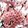 Beautiful spring background of a pink blooming cherry — Stock Photo