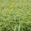 Yellow grain ready for harvest growing in a farm field — Stock Photo #4087470