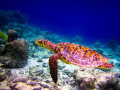 Hawksbill Turtle swiming like flying — Stock Photo