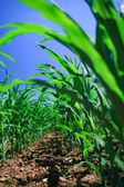 Row of corn on an agricultural field. — ストック写真