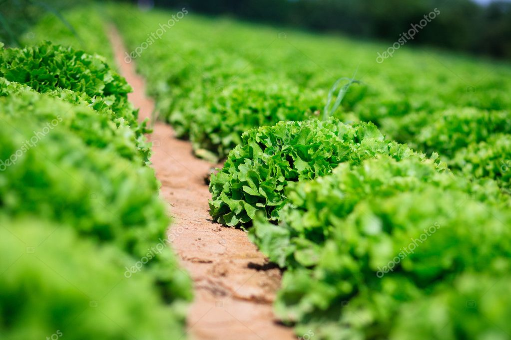 Beautiful, big, green cabbage from ecological farm — Stock Photo #4087953