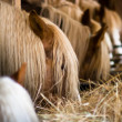Many horses in a row eating at the stables - Stock Photo