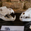 Wolfs skull - Stock Photo