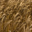 Yellow grain ready for harvest growing in a farm field — Stock Photo #4122555