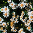 Spring grass field with many white daisies — Foto Stock