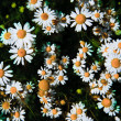 Spring grass field with many white daisies — Stock Photo