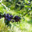 Plum — Stock Photo #4123281