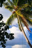 Coconut trees couple — Stock Photo