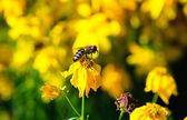Abelha na flor amarela — Foto Stock