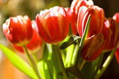Tulips in sunshine — Stock Photo