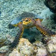 Hawksbill Turtle swiming like flying — Foto de Stock