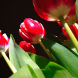 Stock Photo: Tulips on black background , from buttom