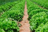 Col hermoso, grande, verde de granja ecológica — Foto de Stock
