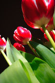 Tulips on black background , from buttom — Stock Photo