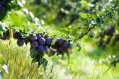 Naturel prune fraîche sur l'arbre — Photo