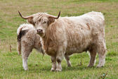 Calf with mother — Stock Photo