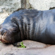 Patagonian Sealion — Stock Photo