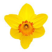 Daffodil — Stock Photo