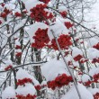 Stockfoto: Mountain ash