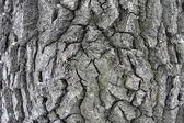 Bark of oak close-up — Stock Photo