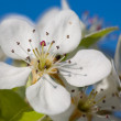Blossoming spring cherry — Stock Photo #4213225