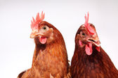 Two brown hens — Stock Photo