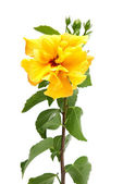 Yellow hibiscus flower — Stock Photo
