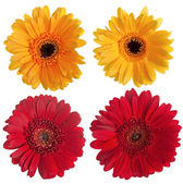 Set of red and yellow gerbera flowers — Foto Stock