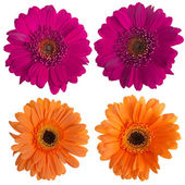 Set of pink and orange gerbera flowers — Stock Photo
