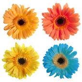 Satz von Gerbera Blumen — Stockfoto
