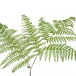 Fern leaf - Foto Stock